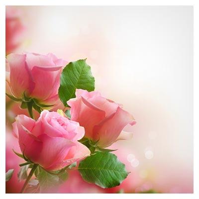 تصویر با کیفیت پس زمینه از گل های بسیار زیبای رز صورتی