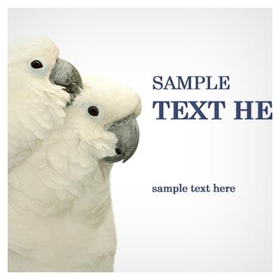 عکس طوطی های عاشق و با احساس سفید رنگ در کنار هم