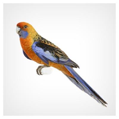عکس طوطی کوچک نارنجی و آبی با دم بلند و پرهای زیبا