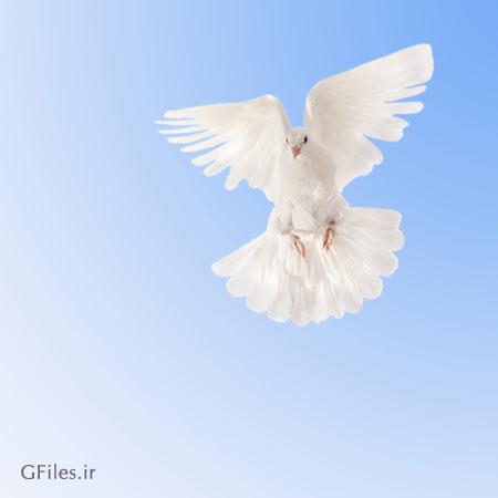 عکس بال زدن کبوتر سفید در آسمان آبی رنگ به فرمت jpg