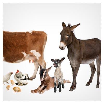 عکس حیوانات خانگی شامل گاو و گوسفند و اسب و مرغ و الاغ به فرمت jpg