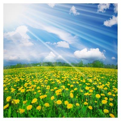 تلالو نور خورشید بر منظره گلستان زرد رنگ و سرسبز