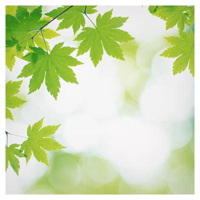عکس برگ های سبز شاخه های درخت چنار با فرمت jpg
