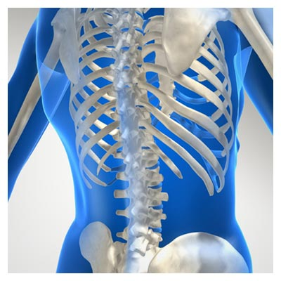 عکس استخوان های بدن انسان در ناحیه بالاتنه به فرمت JPG