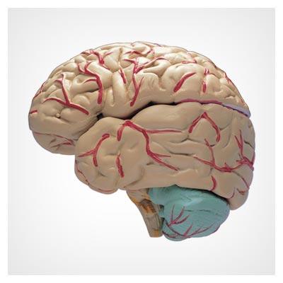عکس رگ های عصبی قرمز مغز انسان با یک مولاژ با پسوند jpg