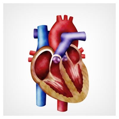 عکس قلب انسان و دریچه های آن و رگ های قرمز و آبی