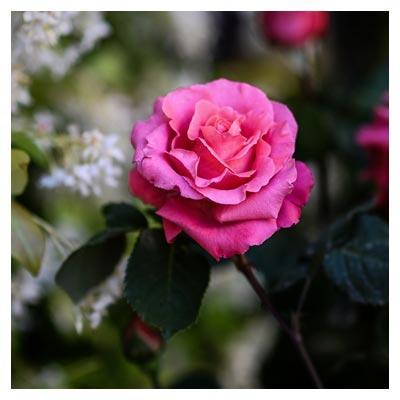 عکس طبیعت و گل های رز محمدی صورتی رنگ