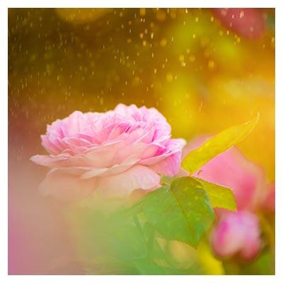 عکس گل رز صورتی ملایم در زیر بارش قطره های باران