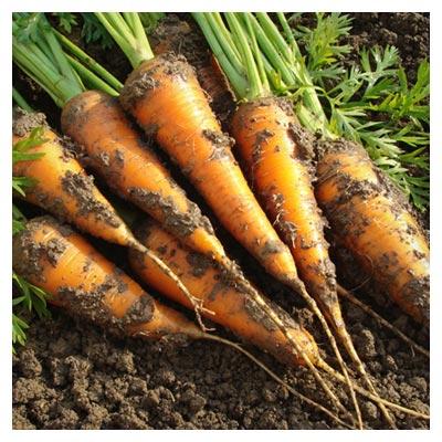 عکس هویج های خاکی، ریشه هویج خارج شده از زمین