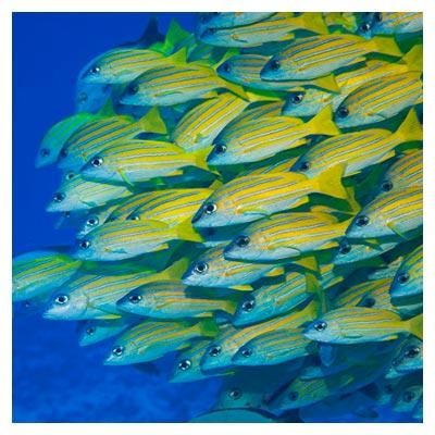 دانلود رایگان عکس دسته ماهی راه راه آبی و زرد در حال شنا کردن در آب