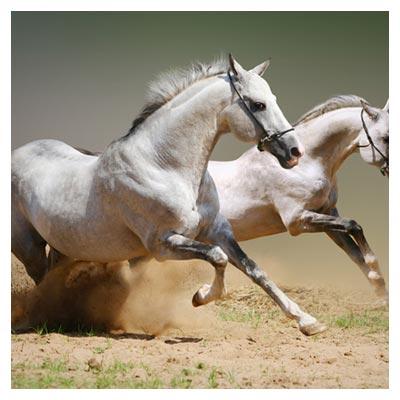 دانلود رایگان عکس با کیفیت دویدن دو اسب تندروی سفید روی زمین خاکی