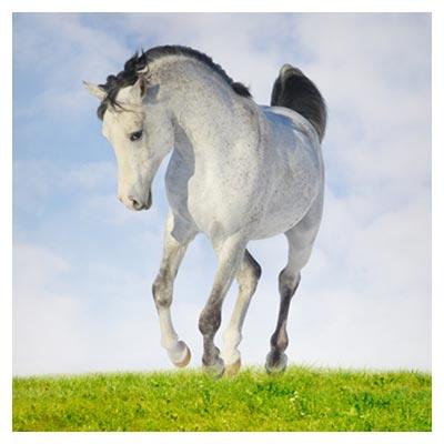 دانلود رایگان عکس قدم زدن اسب سفید روی چمن، ارائه شده با فرمت jpg