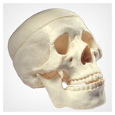 دانلود تصویر اسکلت جمجمه انسان از نمای کناری به صورت jpg