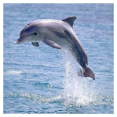 دانلود تصویر اقیانوس و یک دلفین در حال شنا کردن و پریدن در هوا