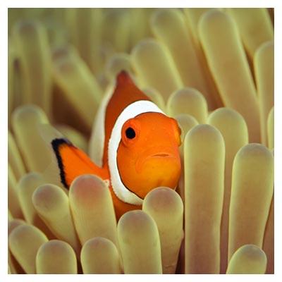 دانلود تصویر با کیفیت ماهی نارنجی در کنار مرجان های کف اقیانوس با پسوند jpg