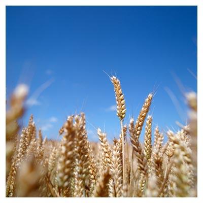 دانلود تصویر با کیفیت گندم های طلایی در گندمزار با پسوند jpg