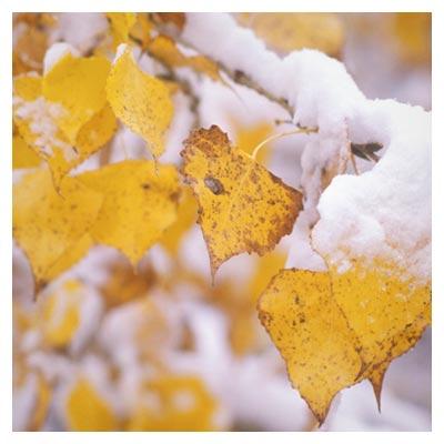 دانلود عکس شاخه درخت با برگ زرد با برف با فرمت jpg