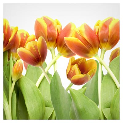 دانلود تصویر با کیفیت شاتراستوک گل های لاله نارنجی و زرد با فرمت jpg