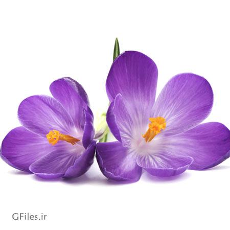 دانلود تصویر دو عدد گل بنفش  کروکوس به صورت رایگان ارائه شده با پسوند jpg