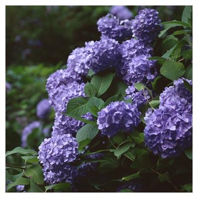 دانلود تصویر شاتراستوک گل های دسته ای ادریسی بنفش در برگ های سرسبز