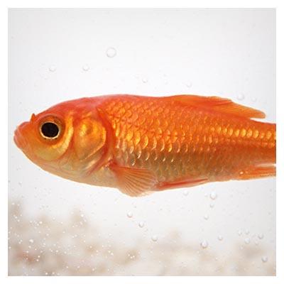 دانلود تصویر شاتراستوک ماهی قرمز عید در آب با پسوند jpg