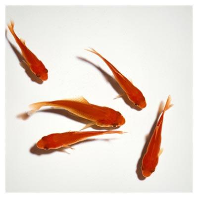 دانلود عکس هفت ماهی قرمز سفره هفت سین عید در حال شنا کردن در آب