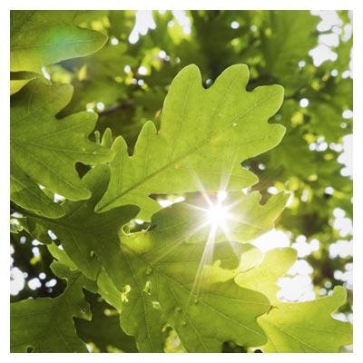 دانلود شاخه ها و برگ های سبز درخت و عبور نور خورشید از میان آن ها