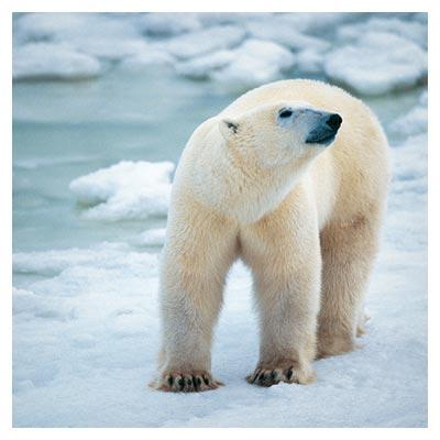 دانلود رایگان تصویر خرس سفید قطبی در کنار رودخانه یخ زده روی برف ها
