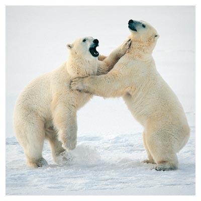 دانلود رایگن عکس دو خرس قطبی سفید روی زمین پوشیده از برف