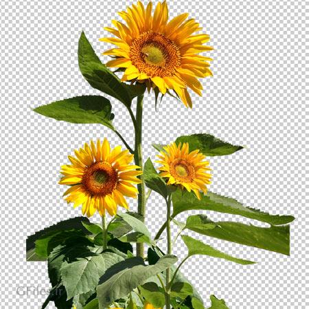 فایل دوربری شده گل آفتابگردان بصورت ترانسپرنت PNG