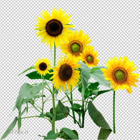 دانلود فایل png گلهای آفتابگردان بصورت دوربری شده ترانسپرنت